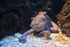 公用章鱼 库存图片