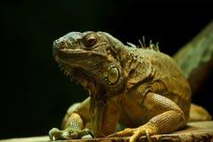 公用绿色鬣鳞蜥 免版税图库摄影