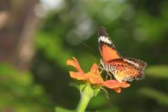 公用老虎蝴蝶(丹尼亚斯genutia) 免版税库存照片