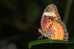 公用老虎蝴蝶(丹尼亚斯genutia) 图库摄影