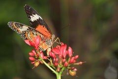 公用老虎蝴蝶(丹尼亚斯genutia) 库存图片
