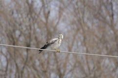 公用肉食(鵟鸟鵟鸟) 免版税库存照片