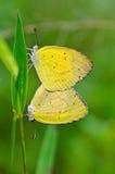 公用草黄色, Eurema hecabe。 联接在草坪 免版税图库摄影