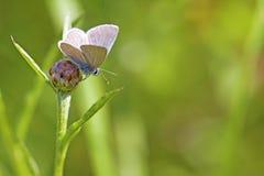 公用蓝色蝴蝶 库存图片