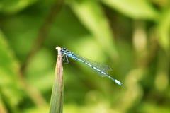 公用蓝色蜻蜓 免版税库存照片