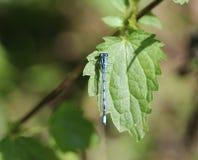 公用蓝色蜻蜓 库存照片