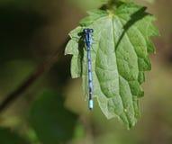 公用蓝色蜻蜓 免版税图库摄影