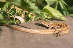 公用蜥蜴 库存照片