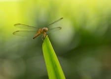 公用蜻蜓女性遮阳伞黄色 库存图片