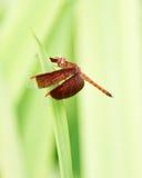 公用蜻蜓遮阳伞 库存照片