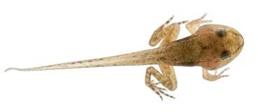 公用青蛙蛙属蝌蚪temporaria 免版税库存图片