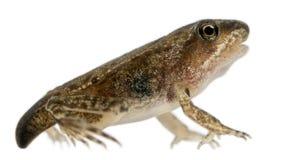 公用青蛙蛙属temporaria 免版税库存照片