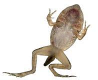 公用青蛙蛙属temporaria 库存照片
