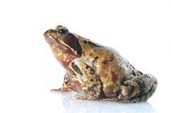 公用青蛙蛙属temporaria 免版税库存图片