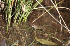 公用青蛙(蛙属temporaria) 库存图片
