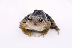 公用青蛙 免版税库存照片