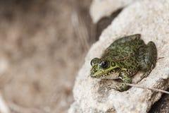 公用青蛙 图库摄影