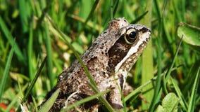 公用青蛙 库存图片