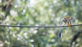 公用猴子灰鼠 图库摄影