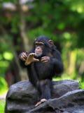 公用黑猩猩 图库摄影