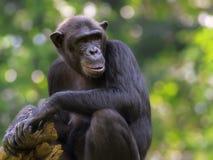 公用黑猩猩 免版税图库摄影