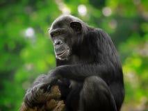 公用黑猩猩 库存图片