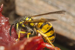公用黄蜂 库存图片