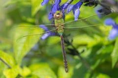公用darner蜻蜓绿色 免版税库存图片