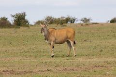公用eland羚羊属非洲羚羊类 图库摄影
