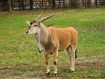 公用eland羚羊属非洲羚羊类 库存图片