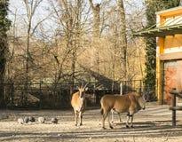 公用eland羚羊属非洲羚羊类 免版税图库摄影