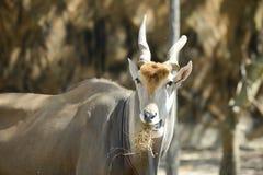 公用eland 图库摄影