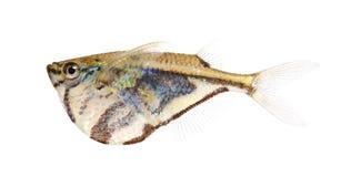 公用gasteropelecus hatchetfish sternicla 免版税库存图片