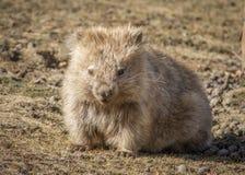 公用wombat 免版税库存图片