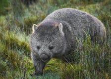公用wombat 免版税图库摄影