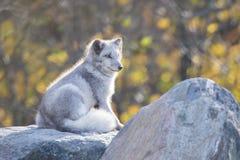 公白狐 免版税库存图片