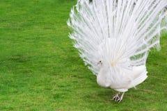 公白色孔雀是被传播的尾巴羽毛II 免版税图库摄影