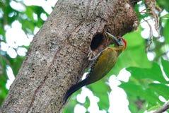 公竹啄木鸟(Gecinulus viridis) 库存图片