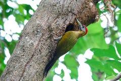 公竹啄木鸟(Gecinulus viridis) 免版税库存图片