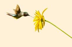 公红宝石红喉刺莺的蜂鸟。 免版税库存图片