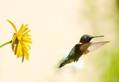 公红宝石红喉刺莺的蜂鸟。 免版税库存照片
