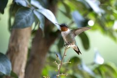 公红宝石红喉刺莺的蜂鸟,乔治亚美国 免版税库存图片