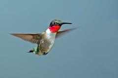 公红宝石红喉刺莺的蜂鸟 免版税库存照片
