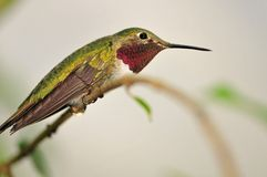 公红宝石红喉刺莺的蜂鸟 免版税库存图片