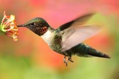 公红宝石红喉刺莺的蜂鸟& x28; archilochus colubris& x29; 免版税库存图片