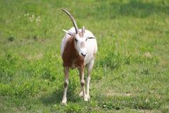 公红色羚羊 库存照片