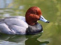 公红头发人鸭子 免版税库存图片