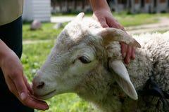公羊年轻人 库存图片