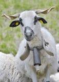 公羊画象白色和黑与响铃 免版税库存图片