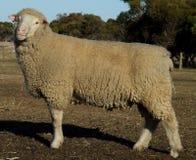 公羊绵羊 免版税库存照片